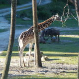 【WDW・DCL旅行記】05.ホテルの部屋からキリンが見られる!ディズニーアニマルキングダムロッジ(Disney's Animal Kingdom Lodge)滞在記